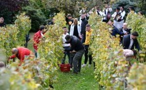 Grape harvest croatia
