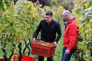 Croatia grape harvest