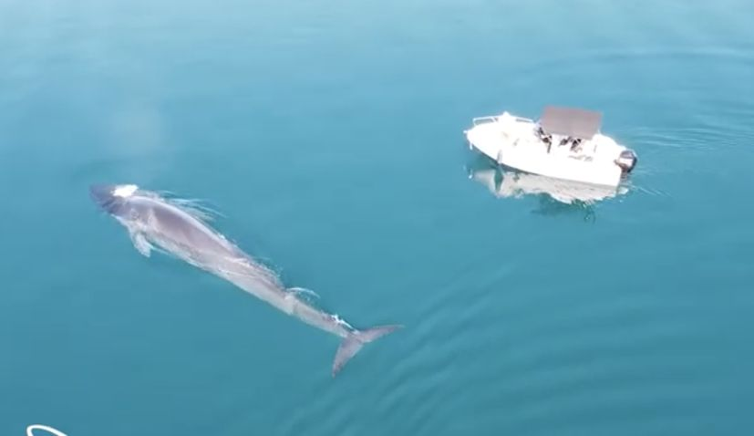 VIDEO: Huge fin whale gets up close to a boat in Velebit Channel
