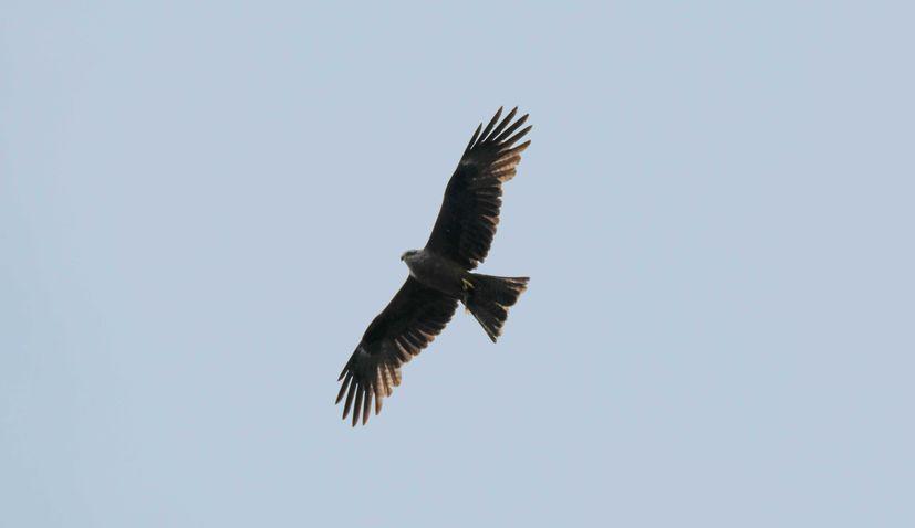 89 young griffon vultures on Croatia's Kvarner archipelago grow feathers