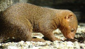 dwarf mongoose at zagreb zoo