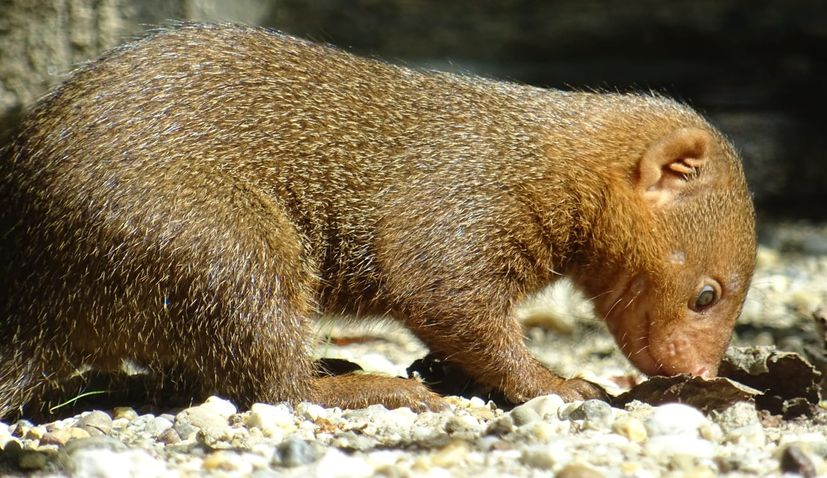 VIDEO: First-ever dwarf mongooses born in Zagreb