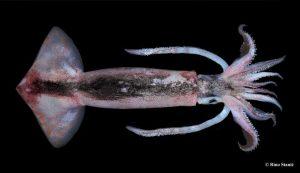 Flying squid Croatian Adriatic