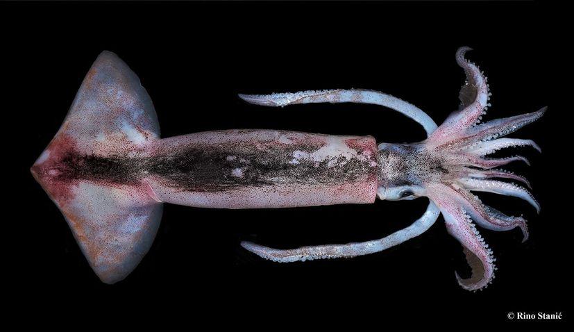 PHOTOS: Flying squid arrive in Croatia's Adriatic Sea