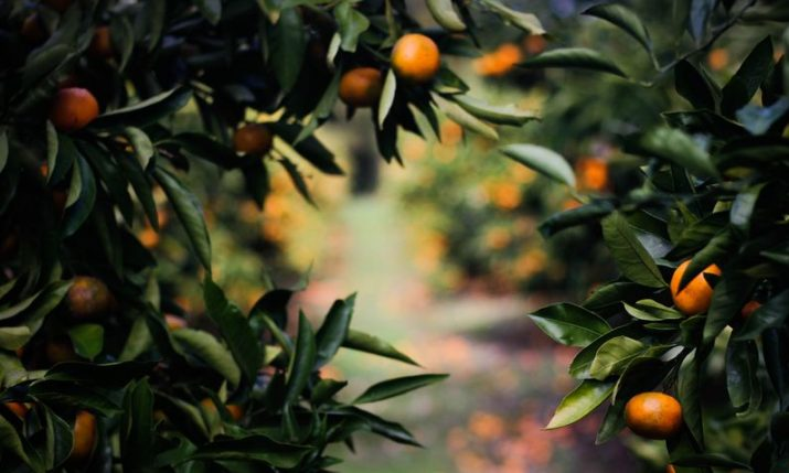 Croatian growers expect up to 32,000 tonnes of mandarin this season