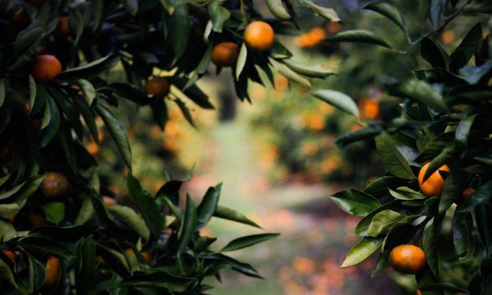 Croatian growers expect up to 32,000 tonnes of mandarin this season