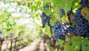 Croatian wine teran Slovenia