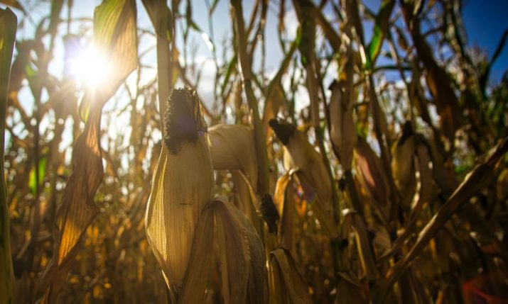 Croatia's 2020 maize crop highest in past 10 years