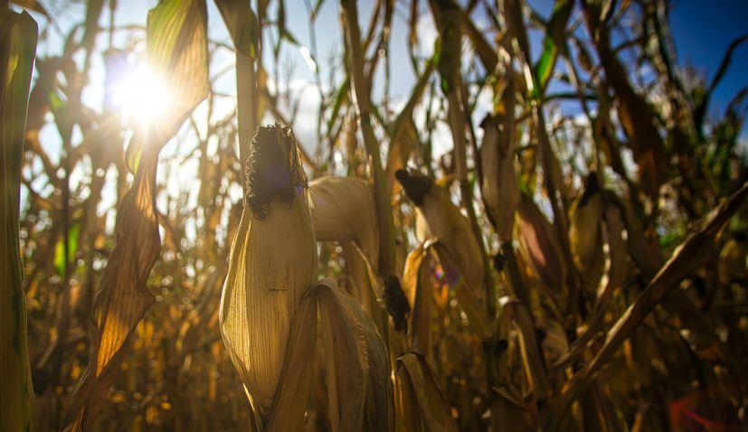 croatia maize crop