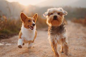 Dogs and man in Croatia