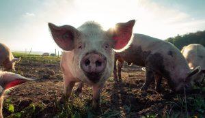 Pig farming croatia