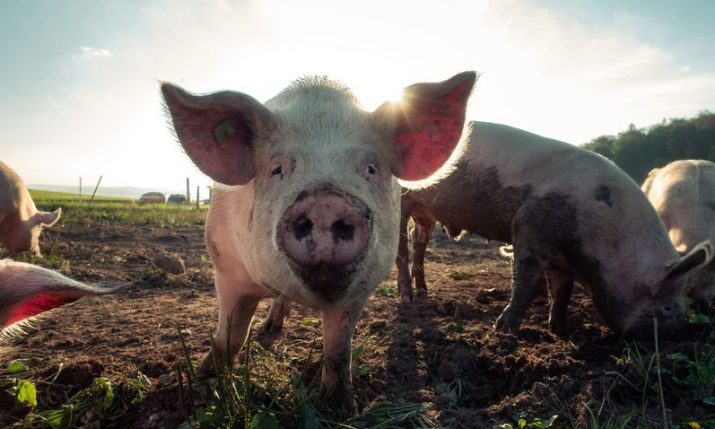 Pig farming in Croatia under threat
