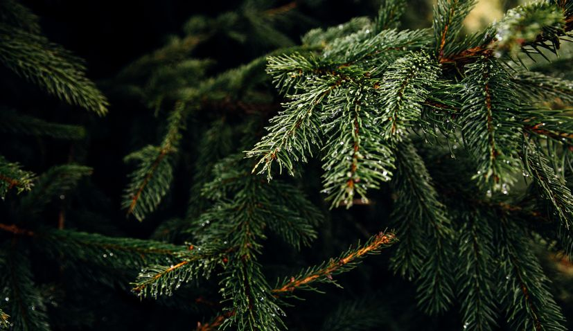 Chamber of Commerce calls for buying Croatian Christmas trees