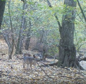 The first real evidence of the appearance of a wolf in the last 60 years at Papuk Nature Park