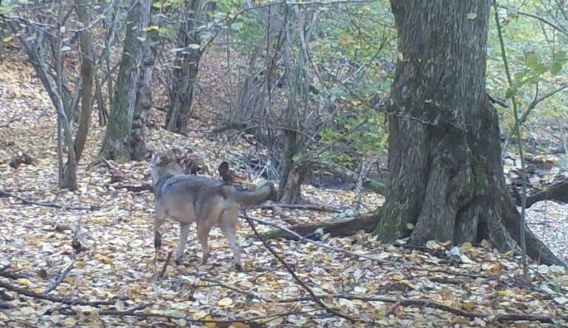 VIDEO: First wolf spotted in Papuk Nature Park after 60 years