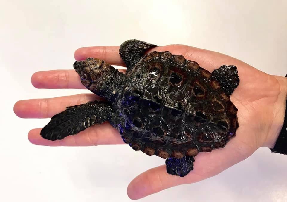 Smallest loggerhead sea turtle in the Adriatic found near Korčula