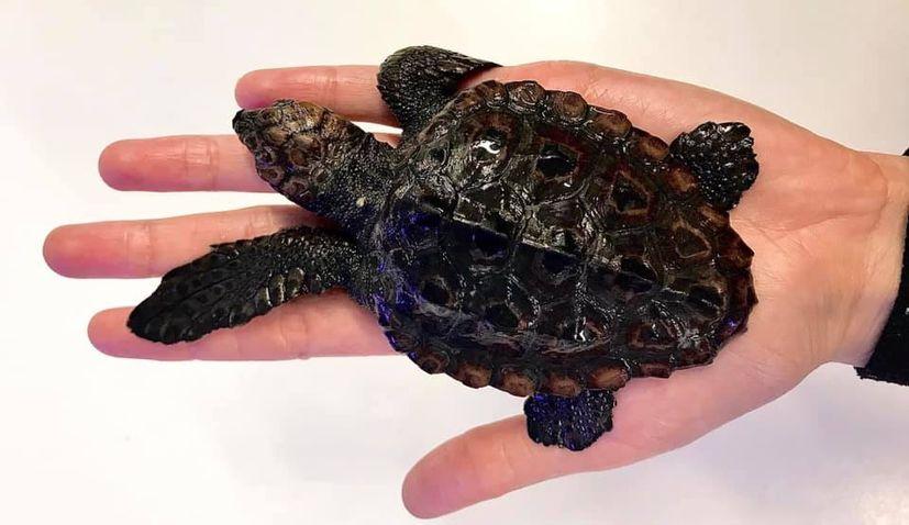 Smallest loggerhead sea turtle in the Adriatic found near Korčula island