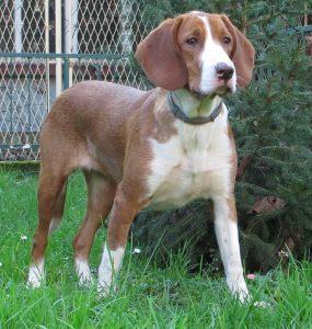 dog breeds originating in Croatia.