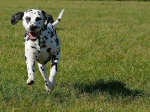 croatian dog breeds