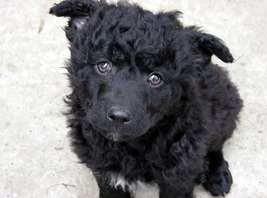 dog breeds croatia