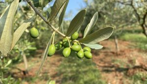 Family-run Croatian organic olive oil producers featuring in Apple TV series