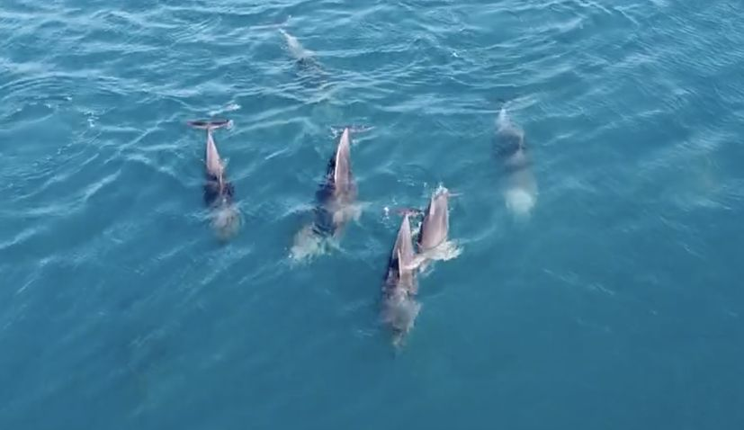 Cutest dolphins playing in Croatia's Adriatic captured on video