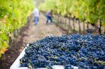 Croatia's wine-growing sector to be impacted by EU strategy for reducing pesticides