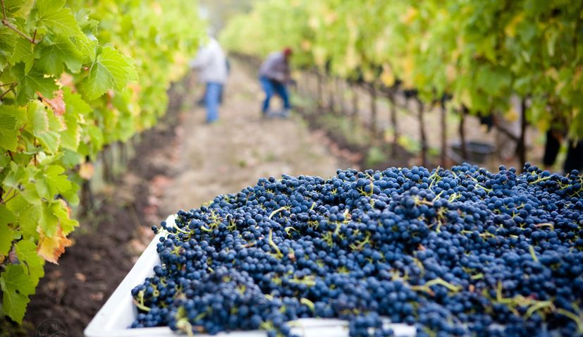 Croatia's viticulture to be impacted by EU strategy for reducing pesticides