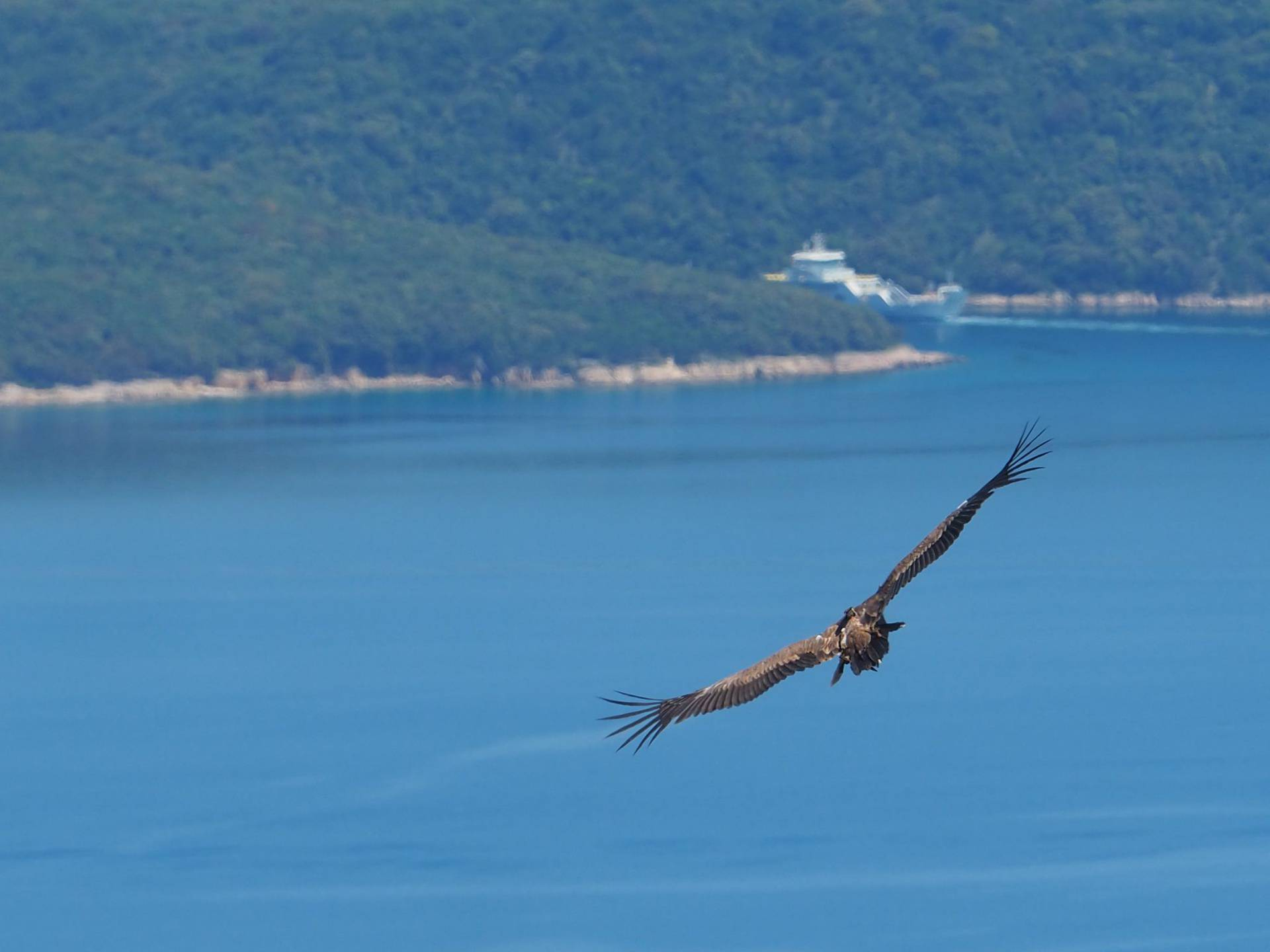 Seven young Griffon Vultures on Cres successfully returned to nature