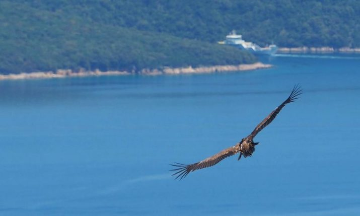 PHOTOS: Seven young Griffon Vultures on Cres successfully returned to nature