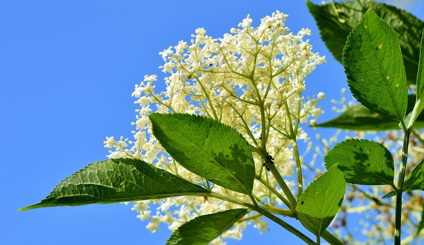 Great potential in Croatia for elderberry cultivation