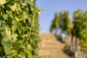 First wine and walk event in golden Slavonia