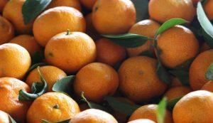 Neretva mandarin harvest starts, better quality mandarins this year