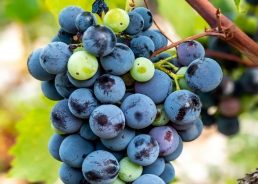 How Plavac Mali united the international wine community on Sept 21