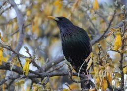 EuroBirdwatch 2021: The common starling the most spottedbird in Croatia