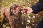 Searching for truffles in Dalmatia