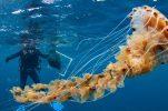 PHOTOS: Scientists encounter gigantic jellyfish in Croatia's Adriatic Sea