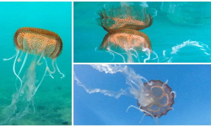 PHOTOS: Mysterious jellyfish spotted in Croatia's Adriatic Sea