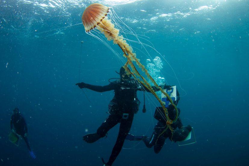 One of the biggest jellyfish seen in Croatia's Adriatic Sea